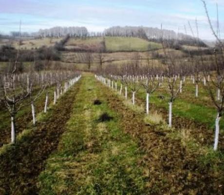 OBAVJEŠTENJE ZA VOĆARE: Implementacija IFAD projekta sadnje šljive i kruške